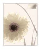 Gerbera Shimmer II Posters by Donna Geissler
