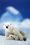 Polar Bear and Baby Posters