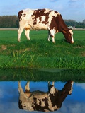 Cow grazing Photographic Print