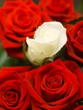 White rose between red roses Photographic Print