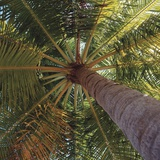 View from underneath a palm tree Photographic Print