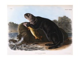 The Sea Otter Giclee Print by John James Audubon