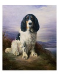 Royal, a Tri-Colour Working Springer Spaniel Gicléetryck av Lilian Cheviot