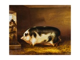 A Prize Pig in a Sty Giclee Print by Thomas Weaver