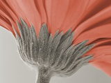 close up image of a gerbera daisy Photographic Print
