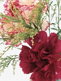 Blooming Carnations Photographic Print