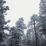 Pine Trees Blanketed with Snow Photographic Print