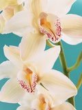 Blooming White Orchids Photographic Print