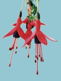 Fuchsia Flowers Blooming Photographic Print