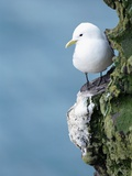 Black-Legged Kittiwake Papier Photo