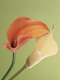 Blooming Lilies Photographic Print