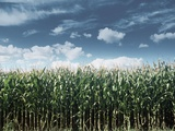 Field of Corn Plants Photographic Print
