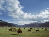 Cattle Grazing on Farmland Photographic Print