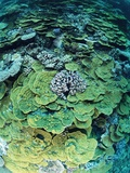 Elephant Ear Coral Photographic Print