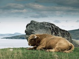 Highlander Bull Photographic Print