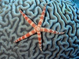 Starfish on Coral Photographic Print