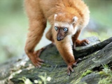 Blue Eyed Lemur Photographic Print