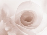 Blooming White Rose Photographic Print