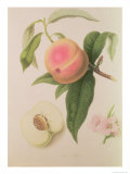 Noblesse Peach Giclee Print by William Hooker