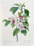 """Apple Blossom, from """"Les Choix Des Plus Belles Fleurs"""" Gicléedruk van Pierre-Joseph Redouté"""