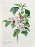 Pierre-Joseph Redouté - Apple Blossom, from