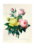 Rosa Lutea and Rosa Indica, from &quot;Les Choix Des Plus Belles Fleurs,&quot; 1827 Giclee Print by Pierre-Joseph Redout&#233;