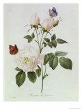 Pierre-Joseph Redouté - Rosa Bengale the Hymenes - Giclee Baskı