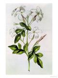 "Jasmine, from ""La Guirlande De Julie,"" circa 1642 Giclee Print by Nicolas Robert"