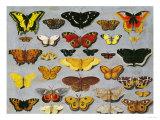 Butterflies Giclee Print