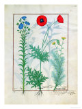 "Linum, Garden Poppies and Abrotanum, Illustration from ""The Book of Simple Medicines"" Giclee Print by Robinet Testard"