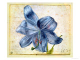 Study of a Lily, 1526 Giclee Print by Albrecht D&#252;rer