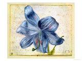 Study of a Lily, 1526 Premium Giclee Print by Albrecht Dürer