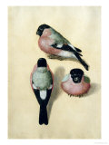 Three Studies of a Bullfinch Giclee Print by Albrecht D&#252;rer