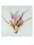 Saffron or Crocus, from &quot;La Guirlande De Julie,&quot; circa 1642 (W/C on Vellum) Giclee Print by Nicolas Robert