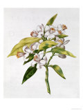 Orange Tree Flower, from &quot;La Guirlande De Julie,&quot; circa 1642 (W/C on Vellum) Giclee Print by Nicolas Robert