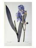 Iris Pallida, from Les Liliacees, 1812 Giclee Print by Pierre-Joseph Redouté