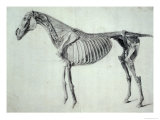 Finished Study for the Fifth Anatomical Table of a Horse Giclee Print by George Stubbs