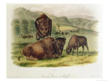 Bison from Quadrupeds of North America (1842-5) Giclée-tryk af John James Audubon