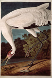 "Whooping Crane, from ""Birds of America"" Reproduction procédé giclée par John James Audubon"