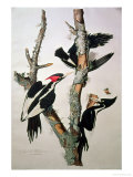 "Ivory-Billed Woodpecker, from ""Birds of America,"" 1829 Premium Giclee Print by John James Audubon"