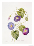 Ipomoea Violacea (Morning Glory) Giclee Print by Pierre-Joseph Redouté