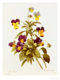 Viola Tricolour Giclee Print by Pierre-Joseph Redouté