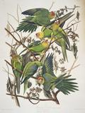 """Carolina Parakeet, from """"Birds of America,"""" 1829 Gicléedruk van John James Audubon"""
