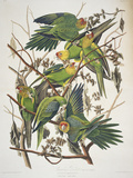 """Carolina Parakeet, from """"Birds of America,"""" 1829 ジクレープリント : ジョン・ジェームス・オーデュボン"""