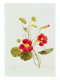 Tropaeolum Majus Var (Nasturtium) Giclee Print by Pierre-Joseph Redout&#233;
