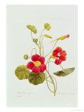 Tropaeolum Majus Var (Nasturtium) Giclee Print by Pierre-Joseph Redouté