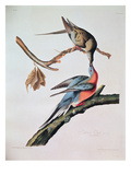 Passenger Pigeon, from 'Birds of America' Reproduction procédé giclée par John James Audubon