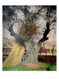 The Old Olive Tree, 1922 Giclée-Druck von Félix Vallotton