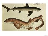"""Lesser Spotted Dogfish, Pl.93 from """"Naturgeschichte Und Abbildung Der Fische,"""" 1836, by H.R. Schinz Giclee Print"""