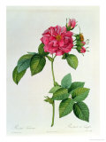 Rosa Turbinata, from Les Roses, Vol 1, 1817 Giclee Print by Pierre-Joseph Redout&#233;